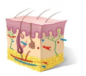 llustration af huden